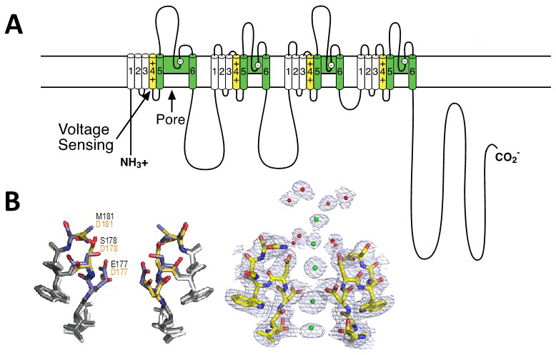 Voltage Gated Calcium Channels Introduction Bpsiuphar Guide To